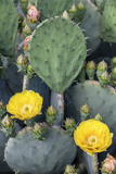Prickly Pear Cactus Blossoms, Asheville, North Carolina, USA Photographic Print by Brent Bergherm