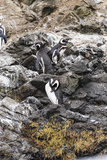 Magellanic Penguins, Punihuil Islands, Chiloe, Region Los Lagos, Chile Photographic Print by Fredrik Norrsell
