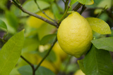 Bright Yellow Lemon on the Tree, California, USA Fotografisk tryk af Cindy Miller Hopkins