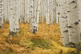 Aspens in White River National Forest Colorado, USA Photographic Print by Charles Gurche