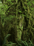 Big Leaf Maples in the Hoh Rain Forest in Olympic National Park, Washington Photographic Print by Jerry Ginsberg