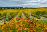 Autumn in Leonetti Vineyard, Walla Walla, Washington, USA Photographic Print by Richard Duval