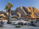 Joshua Tree and Boulder Formation, Joshua Tree NP, California, USA Photographic Print by  Jaynes Gallery