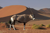 Gemsbok and Sand Dunes, Namib-Naukluft National Park, Namibia Fotografisk tryk af David Wall