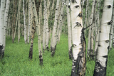 Aspen Trees in Colorado, USA Photographic Print by Jerry Ginsberg