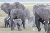 African Bush Elephant Herd, Amboseli National Park, Kenya Photographic Print by Martin Zwick