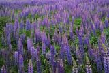 Lupine, Clallam County, Washington, USA Photographic Print by Charles Gurche