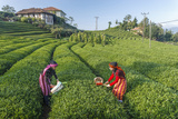 Girls Collecting Tea in Field in Rize, Black Sea Region of Turkey Photographic Print by Ali Kabas