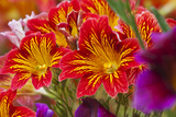 Summer Salpiglossis in Full Bloom, Washington, USA Photographic Print by Terry Eggers