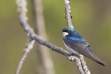 Male Tree Swallow Perches on a Branch in Washington, USA Photographic Print by Gary Luhm