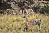 Guanaco Mother and Calf, Chile Photographic Print by Martin Zwick