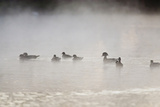 Wood Duck (Aix Sponsa) Flock on Comal River at Sunrise, Texas, USA Photographic Print by Larry Ditto