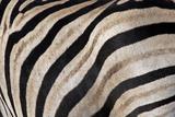 Burchell's Zebra Stripes, Etosha Namibia Fotografie-Druck von Kymri Wilt