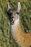 Guanaco Eating, Chile Photographic Print by Martin Zwick