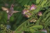 Hummingbird Feeding Off Silk Tree, California, USA Photographic Print by Tom Norring