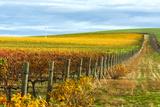 Les Collines Vineyard in Autumn, Walla Walla, Washington, USA Papier Photo par Richard Duval