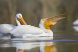 Young White Pelican (Pelecanus Erythrorhynchos) Feeds, Washington, USA Photographic Print by Gary Luhm