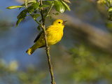 Yellow Warbler (Dendroica Petechia) Perched Singing, Washington, USA Photographic Print by Gary Luhm