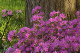 Spring Colors at Crystal Springs Rhododendron Garden, Oregon, USA Photographic Print by Michel Hersen