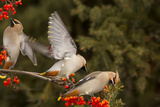 Bohemian Waxwings Feeding on Mountain Ash Berries, Montana, USA Photographic Print by Chuck Haney