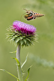 White-Lined Sphinx Moth (Hyles Lineata) Feeding on Thistle, Texas, USA Photographic Print by Larry Ditto