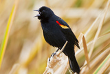 Red-Winged Blackbird (Agelaius Phoeniceus) Male Singing, Texas, USA Photographic Print by Larry Ditto