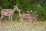White-Tailed Deer (Odocoileus Virginianus) Doe with Fawns, Texas, USA Photographic Print by Larry Ditto