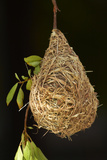 Nest of Southern Masked Weaver, Etosha National Park, Namibia Photographic Print by David Wall