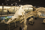 Animal Skeletons, Museum of Osteology, Oklahoma City, Oklahoma, USA Photographic Print by Walter Bibikow
