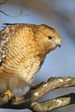 Red-Shouldered Hawk (Buteo Lineatus) Adult in Tree, Texas, USA Photographic Print by Larry Ditto