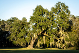 Live Oak with Spanish Moss, Atchafalaya Basin, Louisiana, USA Photographic Print by Alison Jones