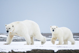 Polar Bear Sow with 2-Year-Old Cub, Bernard Spit, ANWR, Alaska, USA Photographic Print by Steve Kazlowski