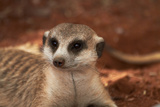 Meerkat, Tiras Mountains, Southern Namibia Photographic Print by David Wall