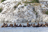 Steller Sea Lions, Birds, Shoreline Cliff, Glacier Bay NP, Alaska, USA Photographic Print by  Jaynes Gallery