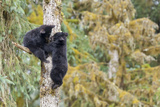 Two Black Bear Cubs in a Tree, Anan Creek, Alaska, USA Photographic Print by  Jaynes Gallery