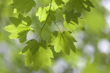 Vvine Maple Leaves, Silver Falls State Park, Silverton, Oregon, USA Photographic Print by  Jaynes Gallery