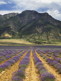 Lavender Field, Juab County, Mona, USA Photographic Print by Charles Gurche