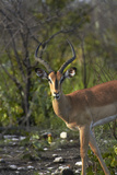Male Black-Faced Impala, Etosha National Park, Namibia Photographic Print by David Wall