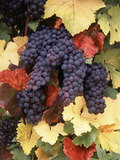 Pinot Noir Grape, Close-Up, Willamette Valley, Oregon, USA Photographic Print by Stuart Westmorland