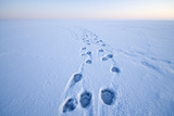 Polar Bear Footprints in the Snow, Bernard Spit, ANWR, Alaska, USA Stampa fotografica di Steve Kazlowski