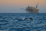 Dolphin Pod Leap Near Oil Derrick, Catalina Channel, California, USA Photographic Print by Peter Bennett