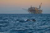 Dolphin Pod Leap Near Oil Derrick, Catalina Channel, California, USA Photographic Print by Peter Bennett