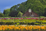 Old Barn and Flower Nursery, Willamette Valley, Oregon, USA Photographic Print by  Jaynes Gallery