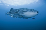 Detail of Whale Shark and Remoras, Cenderawasih Bay, Papua, Indonesia Photographic Print by  Jaynes Gallery