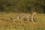 Cheetah on the Move, Maasai Mara Wildlife Reserve, Kenya Photographic Print by Jagdeep Rajput