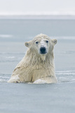 Polar Bear Boar Plays in the Water, Bernard Spit, ANWR, Alaska, USA Photographic Print by Steve Kazlowski