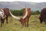 Ankole-Watusi Cattle, Mbarara, Ankole, Uganda Lámina fotográfica por Martin Zwick