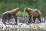 Grizzly Bears, Alaska Peninsula, Alaska, USA Photographic Print by Tom Norring