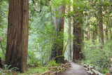 Trail Through Muir Woods National Monument, California, USA Photographic Print by  Jaynes Gallery