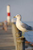 Seagull at the Lake Ontario Pier, Rochester, New York, USA Fotografie-Druck von Cindy Miller Hopkins